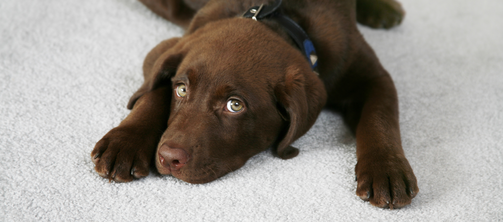Adorable Chocolate Labrador Retriever Puppy